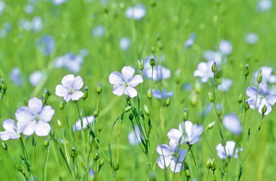 fleur de lin (2).jpg