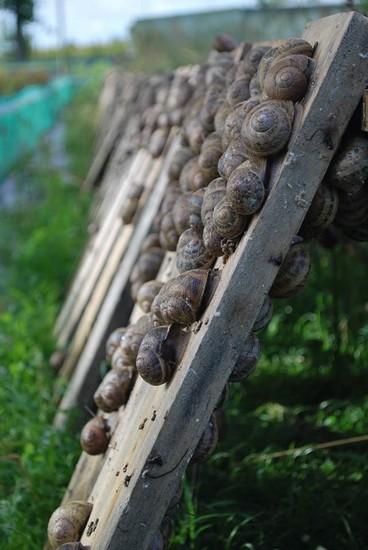Les escargots de la Colme